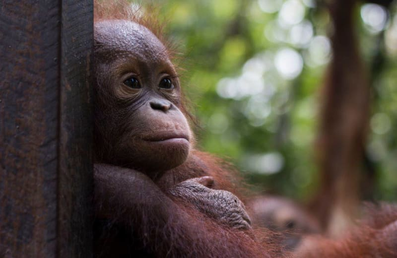 This Adorable Orphaned Orangutan Just Graduated From Pre-School